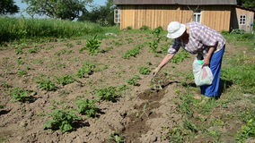 Fertilizer seedling. Sunny day elderly farmer goes barefoot bed from the bag scatters fertilizer on seedlingn stock footage
