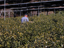 Fertilizing the tea culture. A man doing fertilizing works in a field of tea Royalty Free Stock Photography