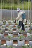 Fertilizzante dello spruzzo dello spruzzatore sulle piante crescenti Fotografia Stock Libera da Diritti