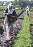 Fertilizzante di lancio dell'agricoltore Immagini Stock Libere da Diritti