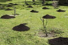 Fertilizzante di pianta organico per la piantagione nel prato inglese primavera Immagine Stock