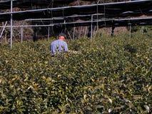Fertilizzazione della coltura del tè Fotografia Stock Libera da Diritti