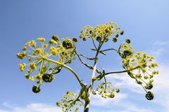Ferula communis flower Royalty Free Stock Photography