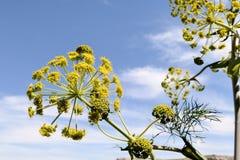 Ferula communis flower Stock Images