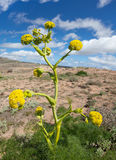Ferula lancerottensis - Canarian giant fennel Stock Photo