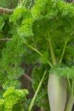 Ferula plant Ferula communis ferula tenuisecta korovin. Close up on a growing Ferula plant Ferula communis ferula tenuisecta korovin Royalty Free Stock Photography