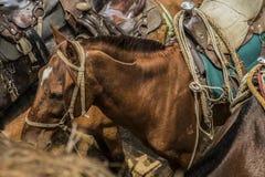 Ferus del Equus - caballo nacional fotografía de archivo