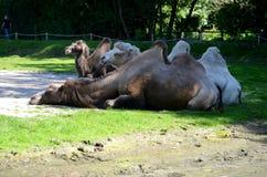 Ferusbactrianus van kamelencamelus het genieten van royalty-vrije stock afbeelding