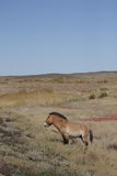Ferusprzewalskii van Equus Stock Afbeelding