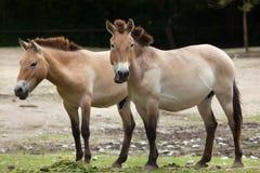 Ferusprzewalskii van Equus van het Przewalski` s paard royalty-vrije stock afbeelding