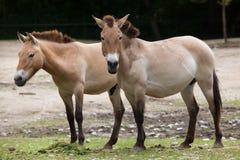 Ferusprzewalskii van Equus van het Przewalski` s paard royalty-vrije stock fotografie