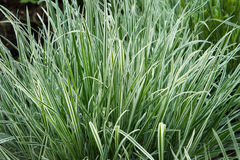 Fescue blue gray, Festuca cinerea Stock Image
