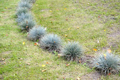 The fescue blue (gray) (Festuca cinerea) grows on a lawn Royalty Free Stock Images