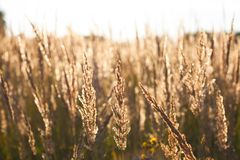 Fescue Grass Festuca Partensis On Meadow On Sunset Sun. Royalty Free Stock Images