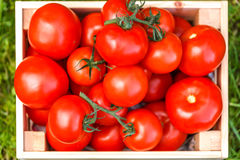 fesh西红柿收获的图片 库存照片