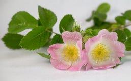 Fesh delle gocce di acqua di rosa selvaggio di Rosa isolato nel permesso bianco e verde Fotografia Stock Libera da Diritti