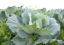 The fesh green cabbage in garden stock photos