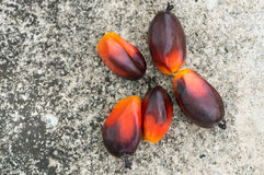Fesh palm oil seed. On ground royalty free stock photo