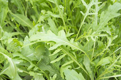 Fesh roquette/rucola/wild rocket. / (type of lettuce) in a glasshouse stock images