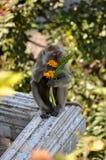 Fest von Blumen für diesen Makaken an der Spitze Krabi, Thailand Stockbild
