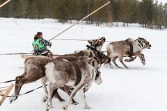 Festa de pastores e de fishermans da rena Raças tensas de um momento no pequeno trenó com cervos Raça tradicional do trenó com ce foto de stock royalty free