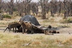 Festa för prickiga hyenor Royaltyfri Foto