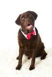 Festa Labrador del cioccolato Fotografie Stock Libere da Diritti