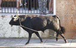 Festa tradicional da tourada de Açores em Terceira açores Toura Fotografia de Stock
