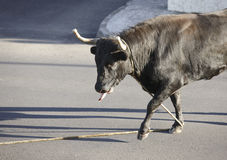 Festa tradicional da tourada de Açores em Terceira açores Toura Fotografia de Stock Royalty Free