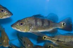 Festae cichlid fish Stock Image