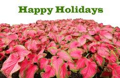 Feste felici scritte nel verde sopra i caladiums rossi Fotografie Stock