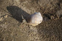 Festina lente La fourmi voyage sur un escargot photos libres de droits
