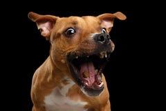Festins rouges métis de crochet de chien photographie stock