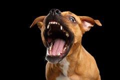 Festins rouges métis de crochet de chien Image stock