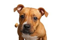 Festins rouges métis de crochet de chien images stock