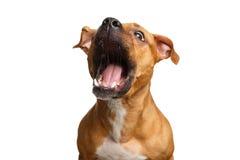 Festins rouges métis de crochet de chien Photos libres de droits