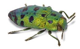 Festiva de Lamprodila del escarabajo de la joya de Cypress imagen de archivo libre de regalías