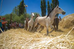 Festival of the Ñaco, El Cholar, Neuquen, Argentina. El Cholar - province of Neuquen - Argentina - February 11, 2017: Traditional wheat trillage with horses Stock Photo