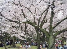 Festival appréciant japonais de fleurs de cerisier en parc Photos libres de droits