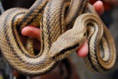 Festival av ormar, oskadlig orm för cervone Fotografering för Bildbyråer
