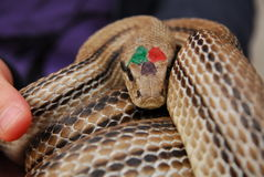 Festival av ormar, oskadlig orm för cervone Arkivfoto