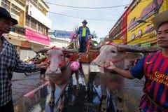 Festival Buffalo racing. Parade buffalo is festival buffalo racing at chonburi in thailand 18 October 2013 Stock Photo