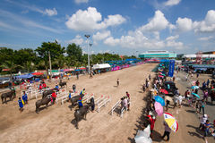 Festival Buffalo racing. Is  tradition at chonburi in thailand 18 October 2013 Royalty Free Stock Images
