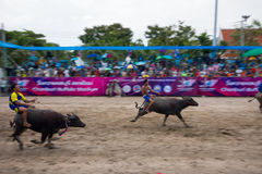 Festival Buffalo racing. Is  tradition at chonburi in thailand 18 October 2013 Stock Images