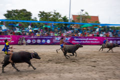 Festival Buffalo racing. Is tradition at chonburi in thailand 18 October 2013 Royalty Free Stock Photos