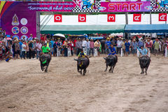 Festival Buffalo racing. Is tradition at chonburi in thailand 18 October 2013 Stock Image