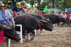 Festival Buffalo racing. Is tradition at chonburi in thailand 18 October 2013 Royalty Free Stock Photo