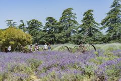 Festival da alfazema na exploração agrícola 123 Foto de Stock Royalty Free