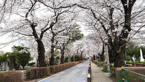 Festival da flor de cerejeira em Aoyama Cemetery Aoyama Cemetery ? um ponto popular durante a esta??o de mola video estoque