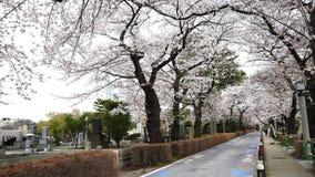 Festival da flor de cerejeira em Aoyama Cemetery Aoyama Cemetery ? um ponto popular durante a esta??o de mola vídeos de arquivo